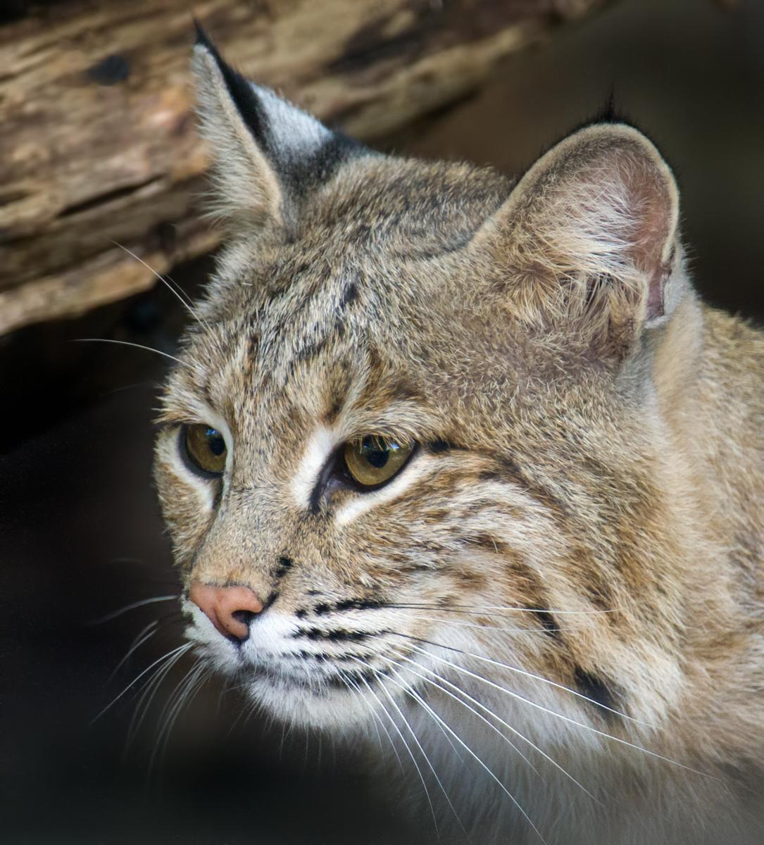 Ollie the Bobcat