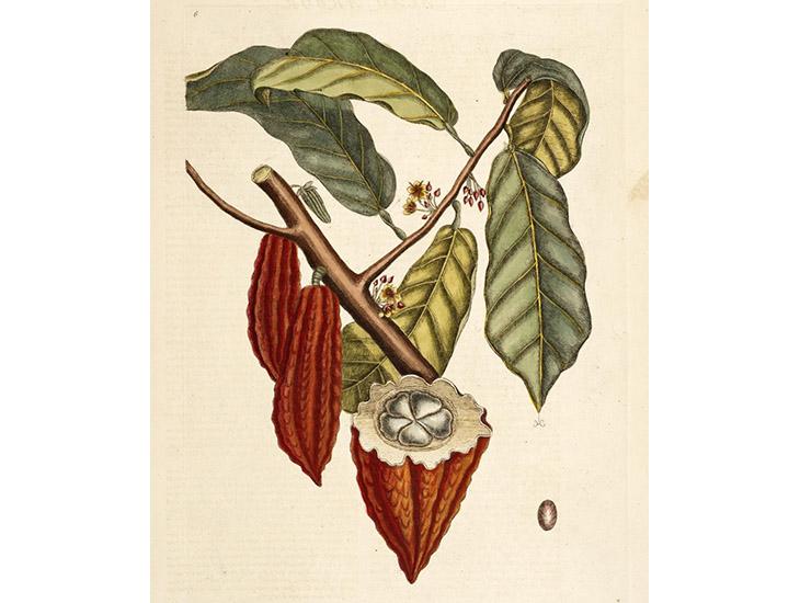 Cacao Illio