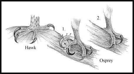 osprey toe.jpg