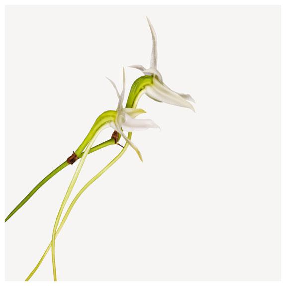 Darwin's Star Orchid