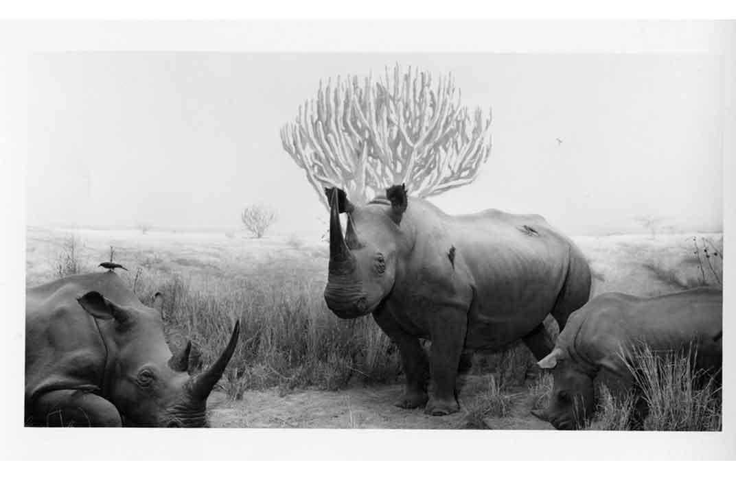 Roosevelt rhinos