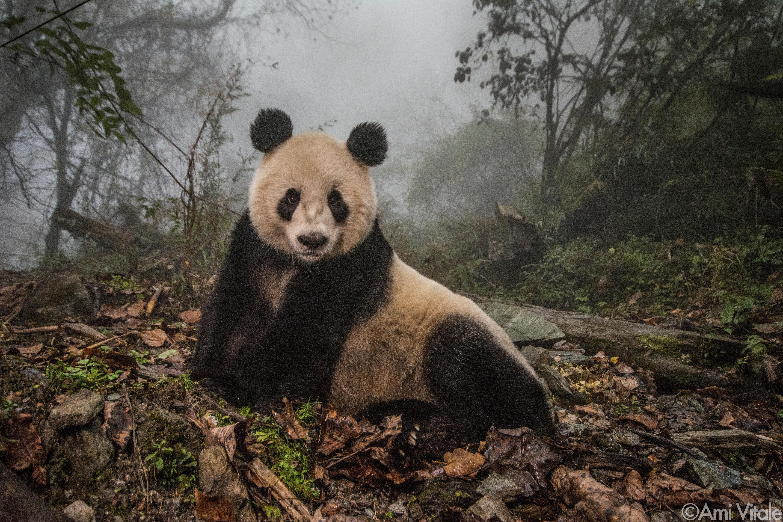 Panda Love - Ye Ye in the mist