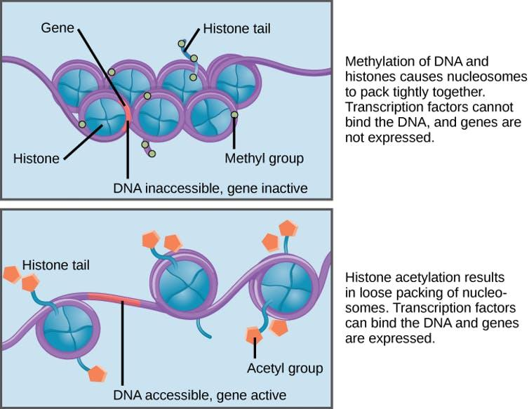Adding an acetyl tag to histone