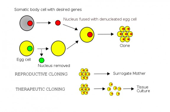 A diagram shows the basic steps of somatic cell nuclear transfer.