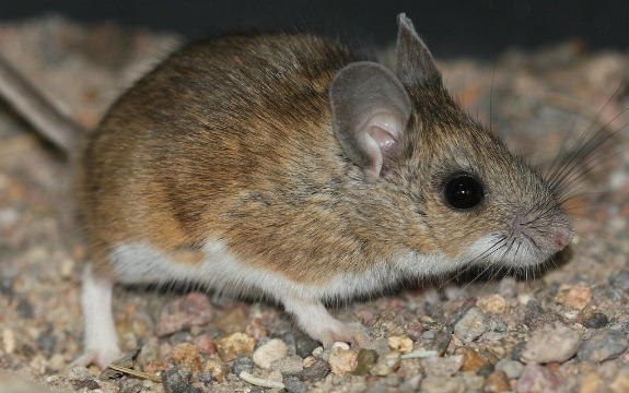 The North American deer mouse