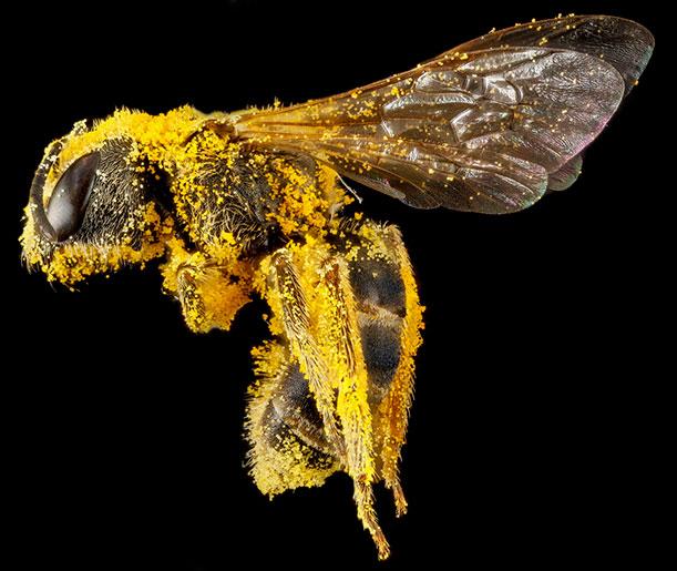 Halictus ligatus covered in pollen, Morris Arboretum, Philadelphia, PA