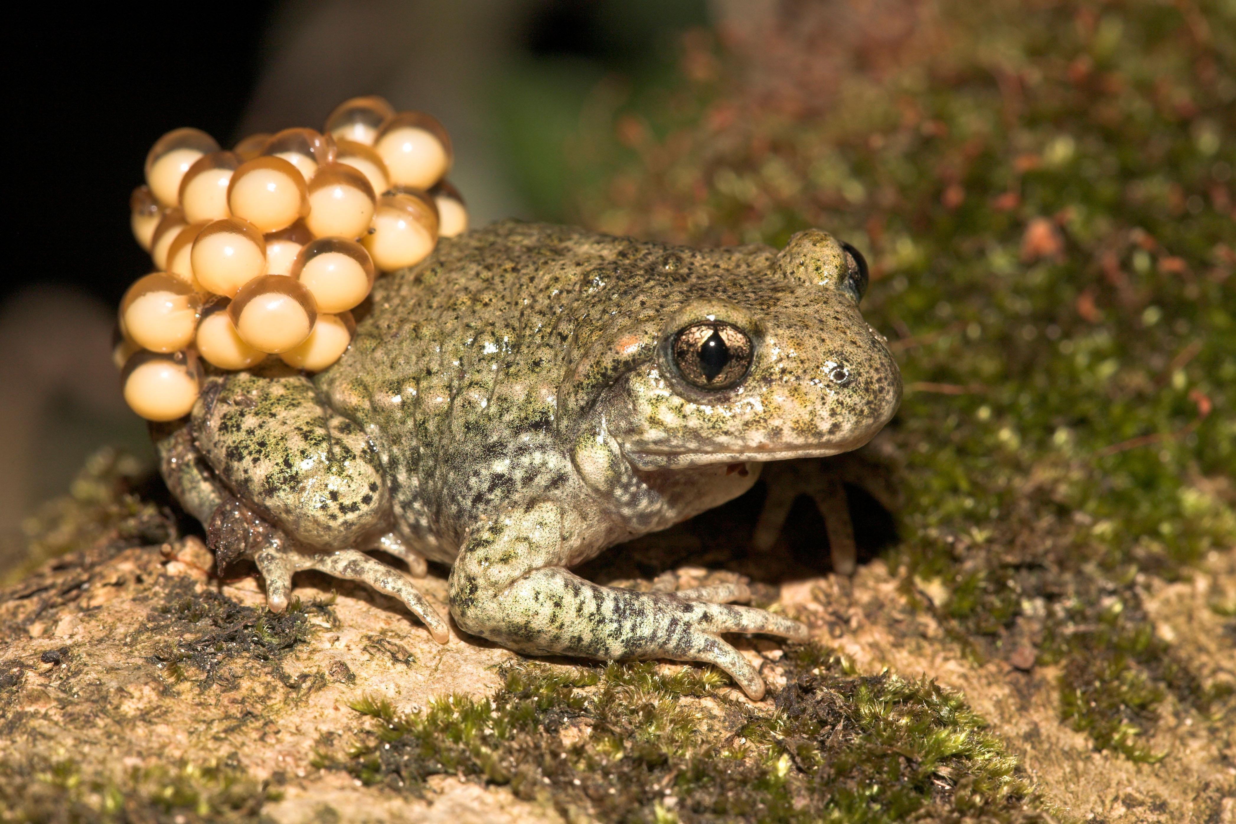 midwife toad.jpg