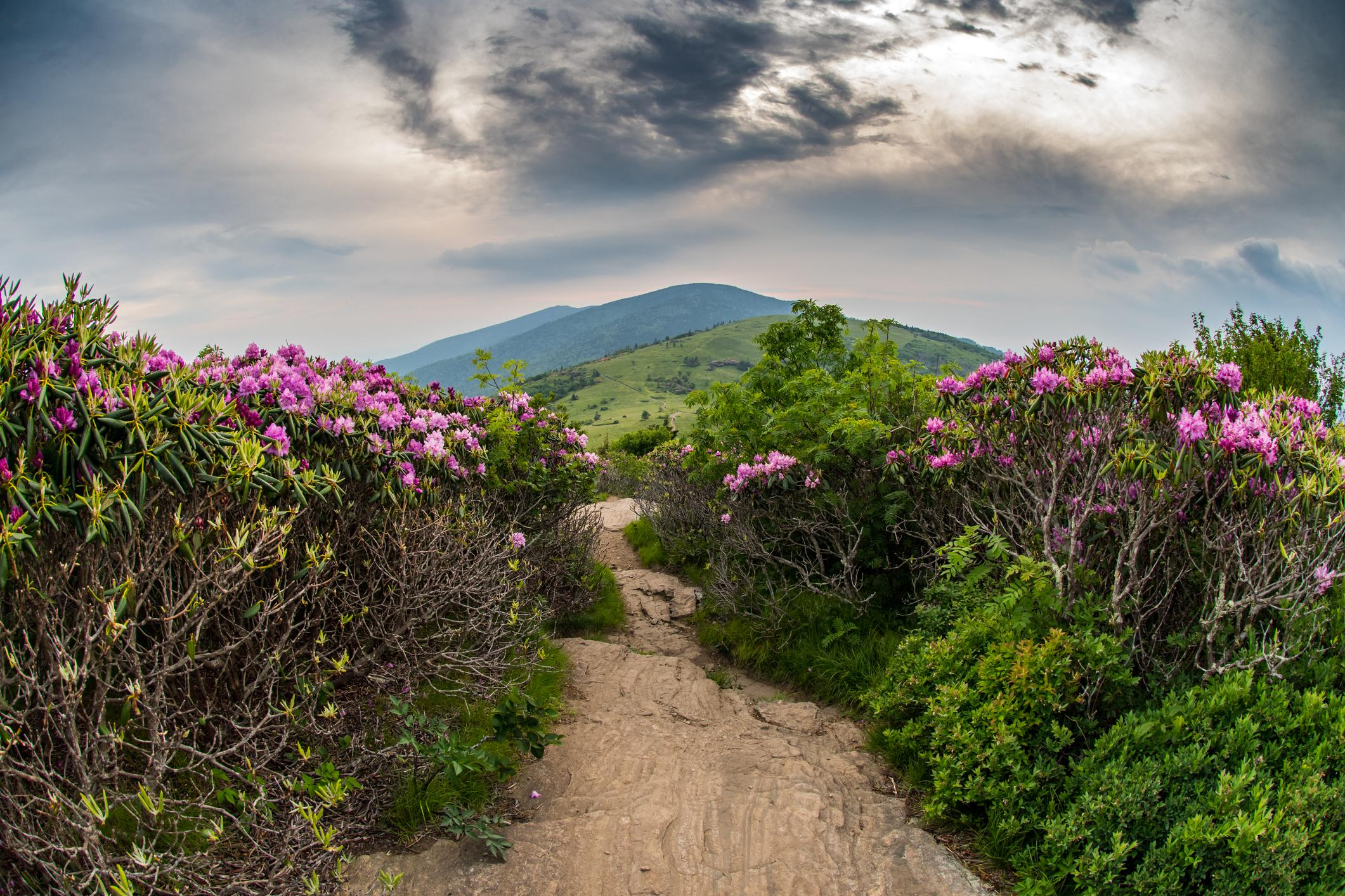 Appalachian Trail Descends Jane Bald Through Rhododendron