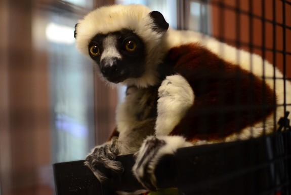 A Coquerels sifaka at the Duke Lemur Center.