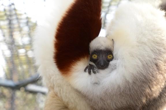 02_01_2013_baby-lemur-e1359728760742.jpg