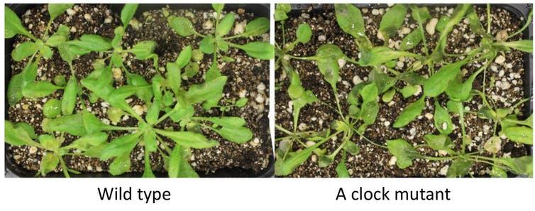 After infection by a fungus, plants with a mutant circadian clock (right) showed much more damage than the normal plants (left).