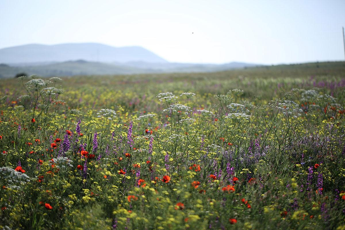 armenian-wildflowers.jpg