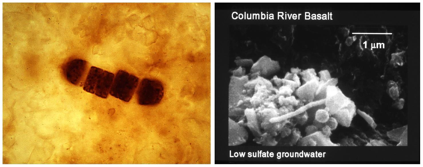 Fossil bacteria.jpg