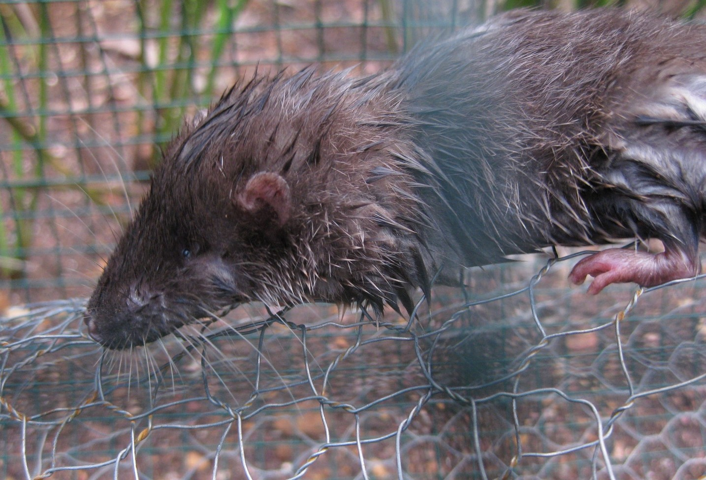 Mining activities have destroyed parts of the Nimba otter shrew's habitat.