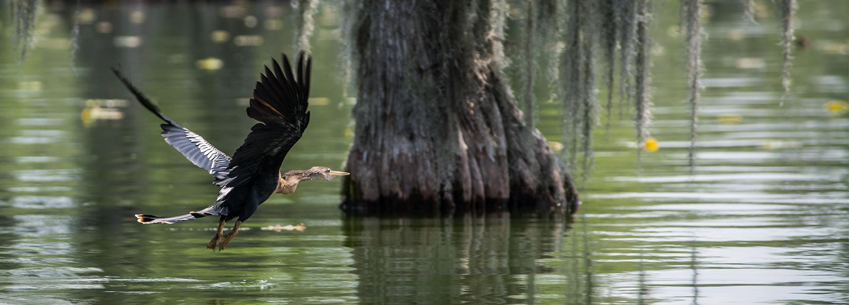 Cormorant flying over bayou - M_MUC1968 / iStock