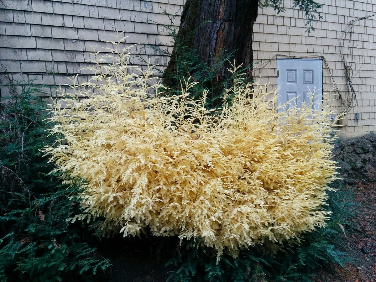 rare albino redwood