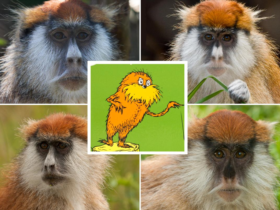 Patas Monkeys and the Lorax