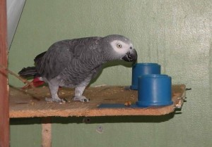 A parrot selects between canisters as part of the study.