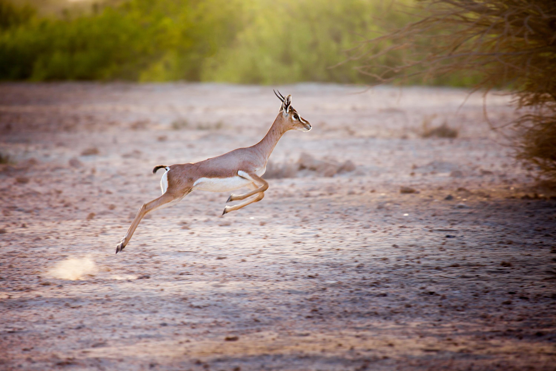 Jumping gazelle on Sir Bani Yas island, UAE