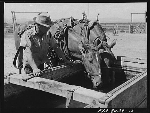 Russell Lee, Big Hole Valley, Beaverhead County, Montana. Horses which have been working in the hay fields all morning are brought into the ranch at noontime for water and food