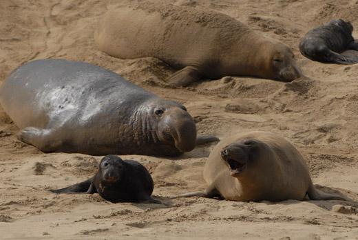 elephant-seals-2.jpg