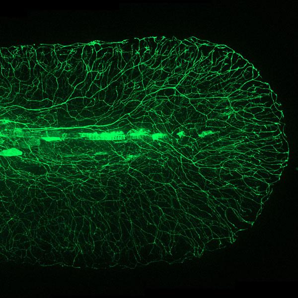 Zebrafish neural network