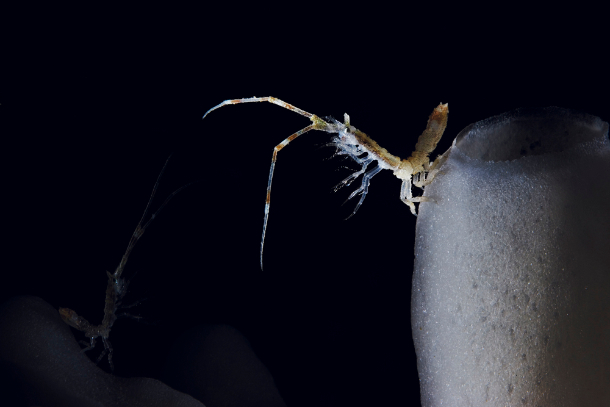 An isopod perches on the side of its glass sponge home to filter particles from the water.