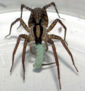 A wolf spider enjoys a tobacco-free lunch.