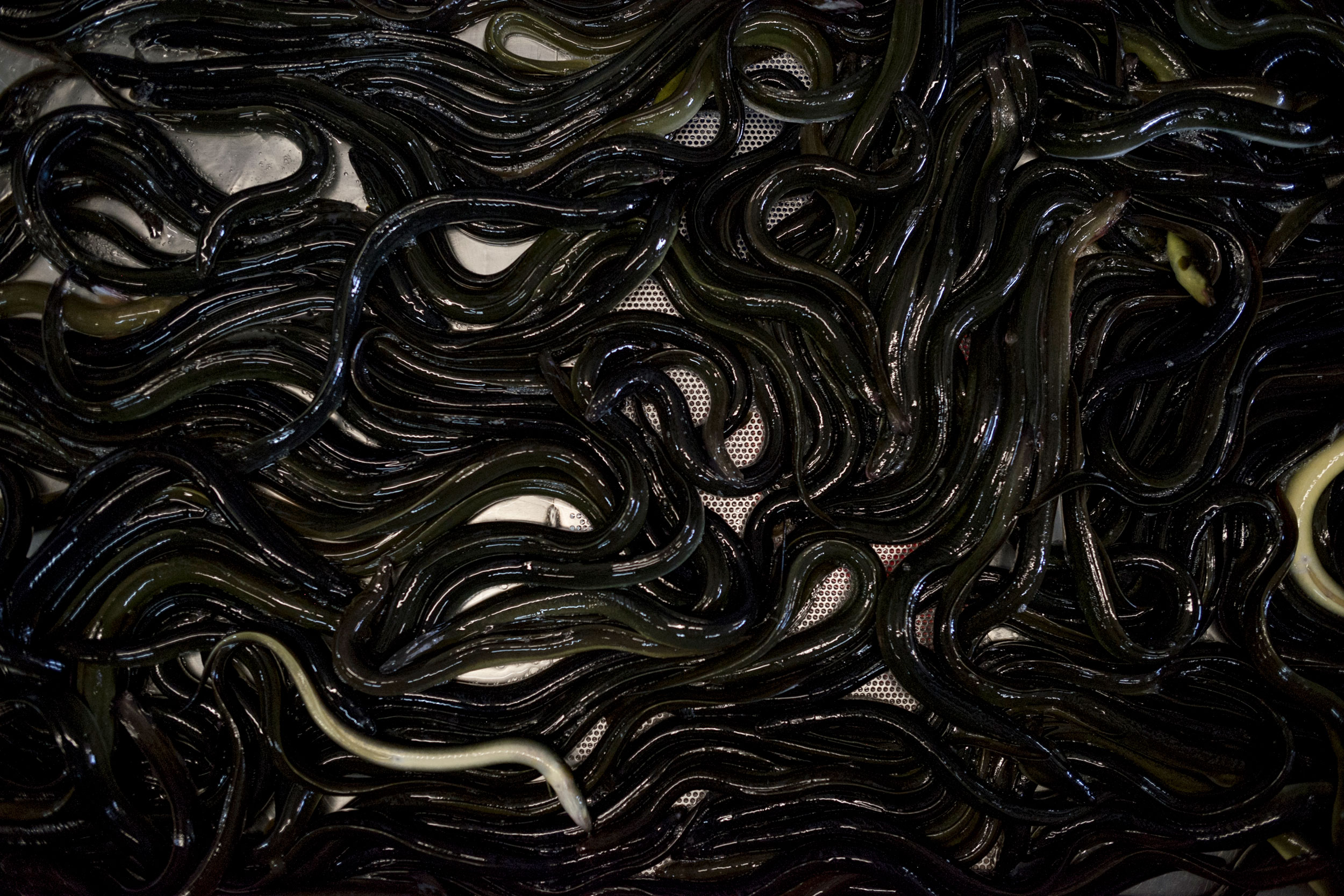 Female American eels