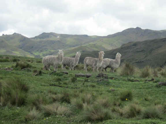 A group of alpacas grazes