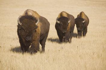 phenomena_bison.jpg