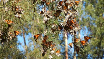 West Coast Monarch Butterflies Flutter Toward Extinction