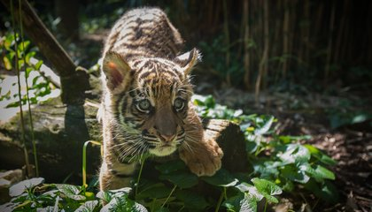 Baby Tiger Travels by Southwest Jet, in Search of a Better Life in San Diego