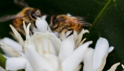 With Smart Planning, Coffee and Bees Can Survive Climate Change