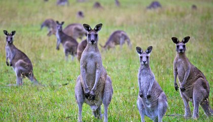 To Save Australia's Ecosystem, Ecologists Say Eat Kangaroos