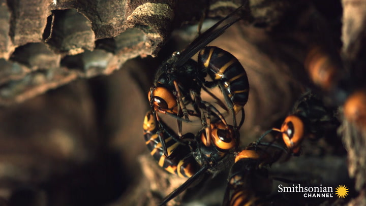 Two Giant Killer Hornet Colonies Battle To The Death Smithsonian